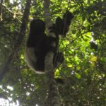 Ranomafana Park - Sifaka Edward