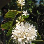 Flowering coffee trees