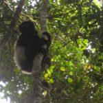 Parc de Ranomafana - Sifaka Edouard
