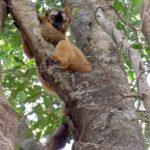 Lemurian Rufus