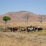 Plateau de l'Horombe - Zebus
