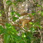 Lemur Rufus