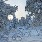 C'est le paradis blanc sur la colline Jyppyrä en Laponie… Près du village d'Enontekiö les forêts sont recouverte d'un grand manteau blanc.