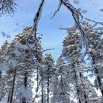 Si l'on frôle de trop près une branche de pin, la neige s'en échappent pour vous saupoudrez de quelques flocons. Attention cependant aux branches qui peuvent céder sous une quantité de neige trop importante.