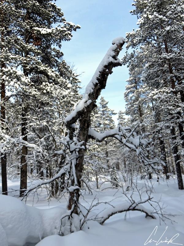 Les arbres morts, « kelo » en finnois, sont une caractéristique de cette nature difficile. La neige fragilise les branches qui cassent sous un poids trop conséquent.