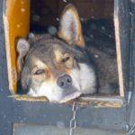 Avant la course en traineau, chaque chien somnole tranquillement dans sa niche.