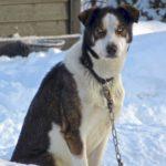 Ce chien de traineau au pelage marron et blanc nous fixe de ses yeux bleu acier. Aucun doute, avec sa musculature, il a la force de tirer un attelage.