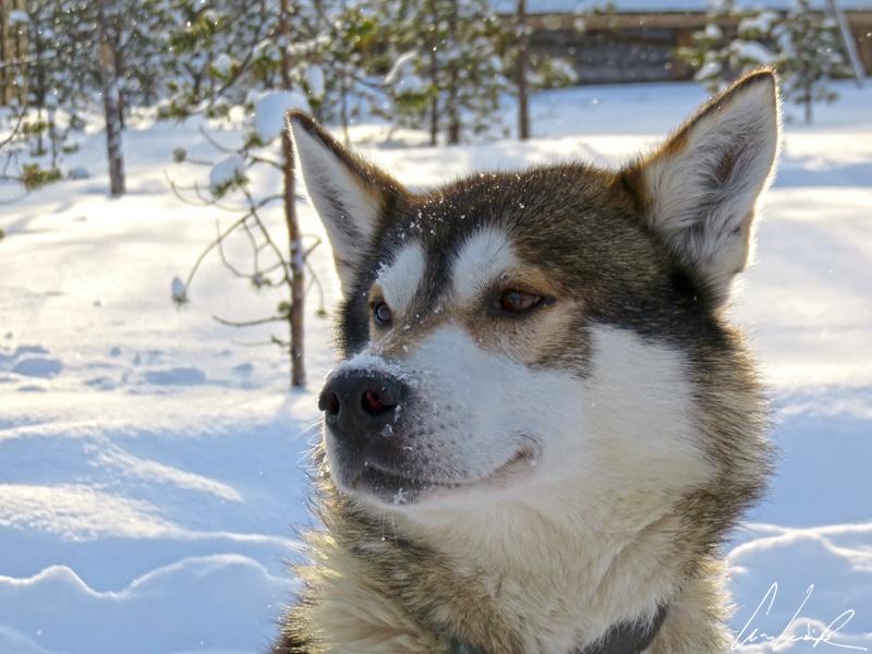 Le chien de traineau Husky tel qu'on le voit dans les films. Fort et couvert d'une fourrure épaisse, il peut supporter des conditions météorologiques extrêmes.