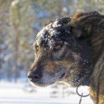 Ce chien de traineau vient de se rouler dans la neige. Il en a encore sur la tête et le museau.