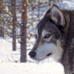 Un autre chien de traineau Husky. D'allure élégante et souple, il incarne un équilibre de rapidité et d'endurance.