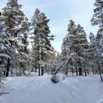 Le paysage hivernal qui nous entoure est grandiose ! Des milliers de pins, recouverts de neige, se dressent de part et d'autre de notre trajectoire.