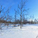 Les paysages somptueux de Laponie avec une succession de lacs et de forêts où les bouleaux dominent. Ils sont complètement tordus par le gel et grandissent peu.