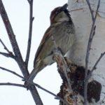 Un moineau perché sur une branche de bouleau par une froide journée d'hiver en Laponie.