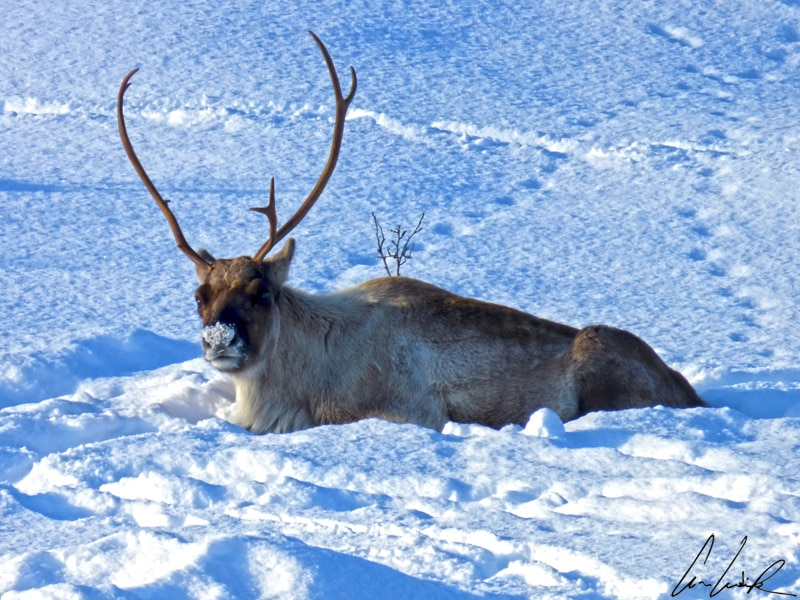 Sven le renne croisé au bord de la route, confortablement couché dans la neige. Ses bois sont impressionnants.