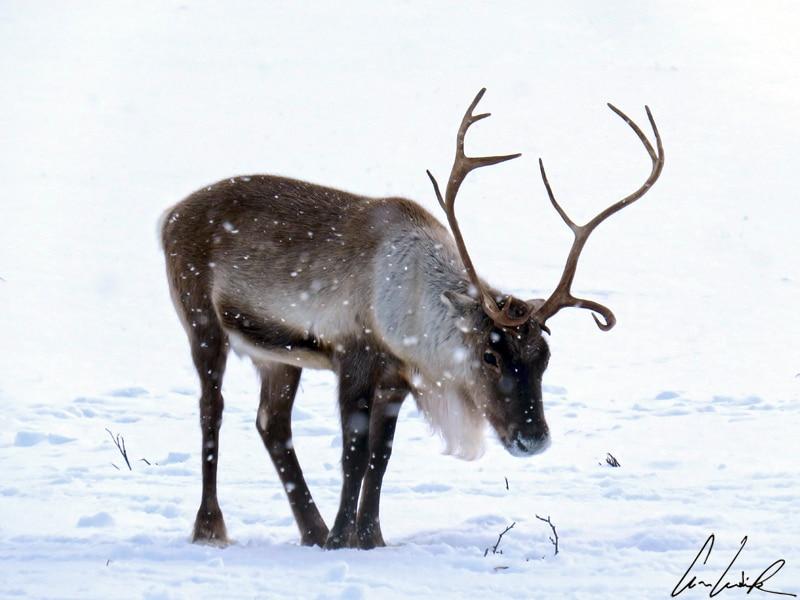 À lui seul, le renne représente un être mystique et le froid hivernal. Il est reconnaissable à ses magnifiques bois et à son manteau de fourrure