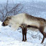 Le renne a un épais pelage, de courtes oreilles et une petite queue. Il a un museau qui réchauffe l'air avant de l'inspirer.