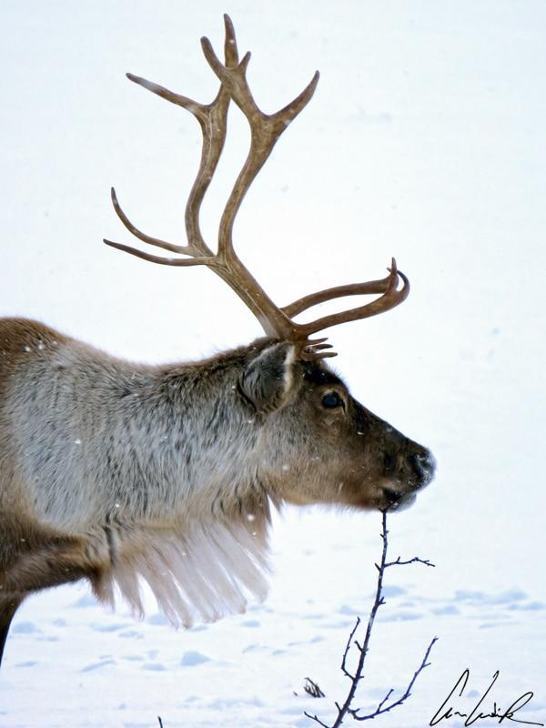 Comme tous les cervidés, le renne a des bois qu'il perd dans l'année. Le renne est le seul cervidé dont la femelle peut aussi être pourvue de bois.