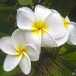Sur l'île de Pâques on hume encore et encore les douces senteurs du collier de fleurs, très odorantes, du Frangipanier