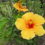 Ces hibiscus jaunes présentent de magnifiques fleurs de 2 à 6 cm de diamètre avec 5 pétales très fins et soyeux, et un coeur d'étamines jaunes