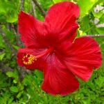 Ces hibiscus à la couleur rouge vif présentent de magnifiques fleurs avec 5 pétales en entonnoir et des étamines colorées à anthères jaunes