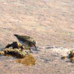 C'est dans les petites lagunes du Salar de l'Atacama que l'on peut observer les oiseaux comme le bécasseau de Baird