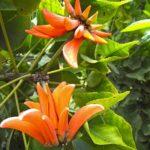 L'Erythrine, du grec erythros qui signifie rouge, ou l'arbre corail possède des fleurs veloutées écarlates, que l'on compare souvent à des crêtes de coq