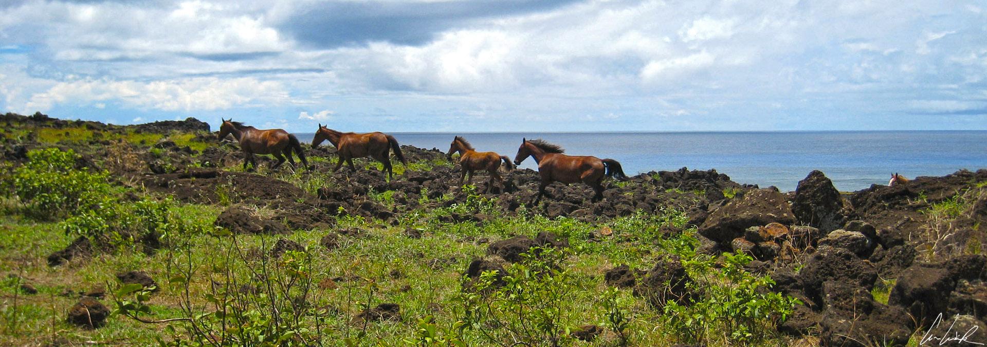 Sur l'île de Pâques les chevaux galopent ou broutent ici et là en toute liberté. Ces chevaux semi sauvages errent partout sur l'île