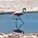 Un majestueux flamant, tout en rose, agite délicatement une patte et clopine d'un pas feutré dans l'eau pure de la Laguna Chaxa