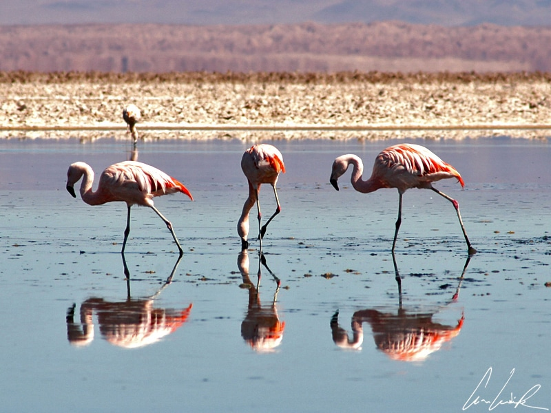 Dans le Salar de l'Atacama, le flamant chilien est reconnaissable à ses pattes grisâtres aux articulations roses/rouge et à son bec à moitié noir