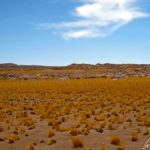 C'est sur l'altiplano chilien, que l'on trouve cette végétation clairsemée, à base de « Paja Brava », ponctuée de touffes d'herbe sèche