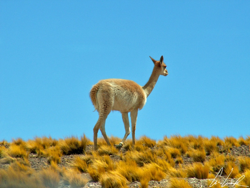 Autour des lagunes Miñiques et Miscanti, les seules traces de vie dans le coin sont des foulques cornues, des viscaches ou des vigognes