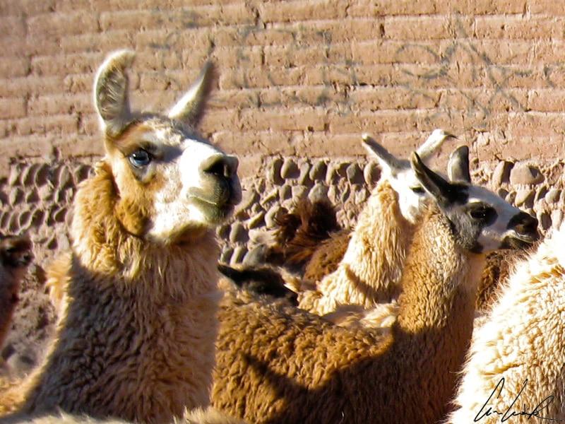 Au détour d'une ruelle dans San Pedro de Atacama, il n'est pas rare de croiser des lamas. Ils vous accueillent l'œil hautain mais néanmoins curieux