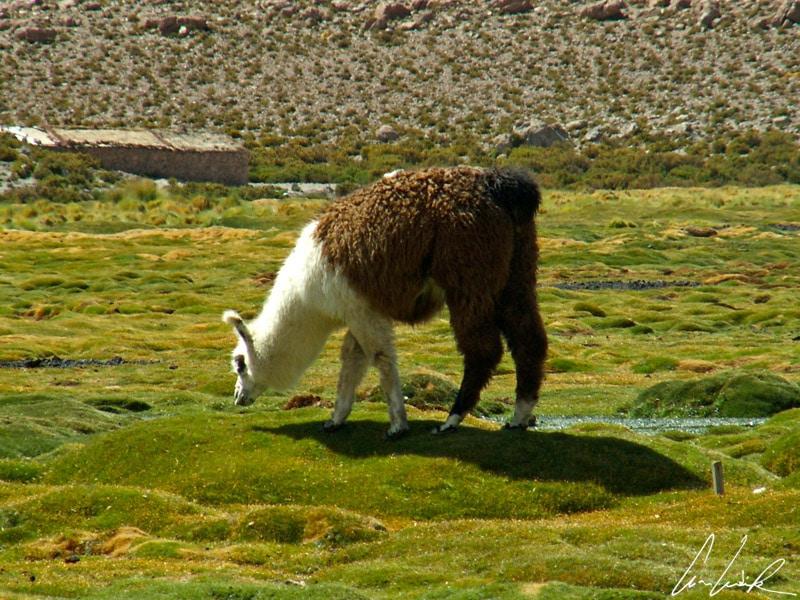 Sur les bofedals viennent paître lamas, bien adaptés à la vie dans ces régions extrêmement arides et dans l'air rare des grandes altitudes