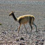 Les troupeaux de vigognes se baladent souvent sur l'Altiplano chilien. Ce mammifère sauvage était appelé la « laine des dieux » par les Incas