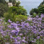 A Funchal, la capitale de Madère, les maisons semblent s'agripper à flanc de collines au milieu des Jacarandas qui se parent de belles fleurs mauves