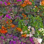 Madère - La ville de Funchal foisonne de pétales hauts en couleur comme ces magnifiques bougainvilliers multicolores
