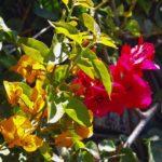 Madère, ville de Funchal - les bougainvillées sont cultivées pour leurs feuilles multicolores, (ici, rose et orange)