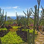 Le Jardin Botanique de Madère - Les Cereus peruvianus ou cactus cierge du Pérou se tendent de plusieurs mètres vers le bleu du ciel.