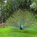 Un paon bleu faisant la roue au Jardin Botanique de Madère. Cet oiseau originaire d'Inde, nous offre un magnifique éventail !