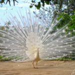 Le Jardin Botanique de Madère – Ce paon blanc faisant la roue nous fait penser à une sublime robe de mariée d'une blancheur étincelante