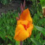 Le Jardin Botanique de Madère – Les Cannas sont appréciés pour l'exotisme qu'ils amènent au jardin avec leur floraison estivale aux tons chauds !