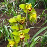 e Jardin Botanique de Madère – Les orchidées vertes (Cymbidium) sont censées apporter chance et bénédiction