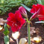 Le Jardin Botanique de Madère – L'Amaryllis « Red Lion » au rouge profond » trouve son origine dans « Les Bucoliques » du poète Virgile