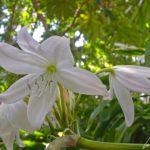 Le Jardin Botanique de Madère – La Crinole blanche porte de larges ombelles de fleurs semblables à des lis blancs gracieusement inclinés
