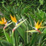 Le Jardin Botanique de Madère – L'oiseau de paradis arbore une forme curieuse, semblable à une tête d'oiseau