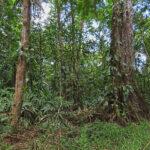 La forêt tropicale du Costa Rica est remarquable par sa végétation luxuriante et dense: fougères, lianes, mousses, et grands arbres y prospèrent.