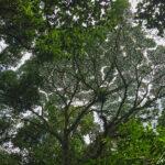 Dans les forêts tropicales humides du Costa Rica, la végétation est dense et arborée et haute. Vue du sol, la canopée semble dense et jointive.