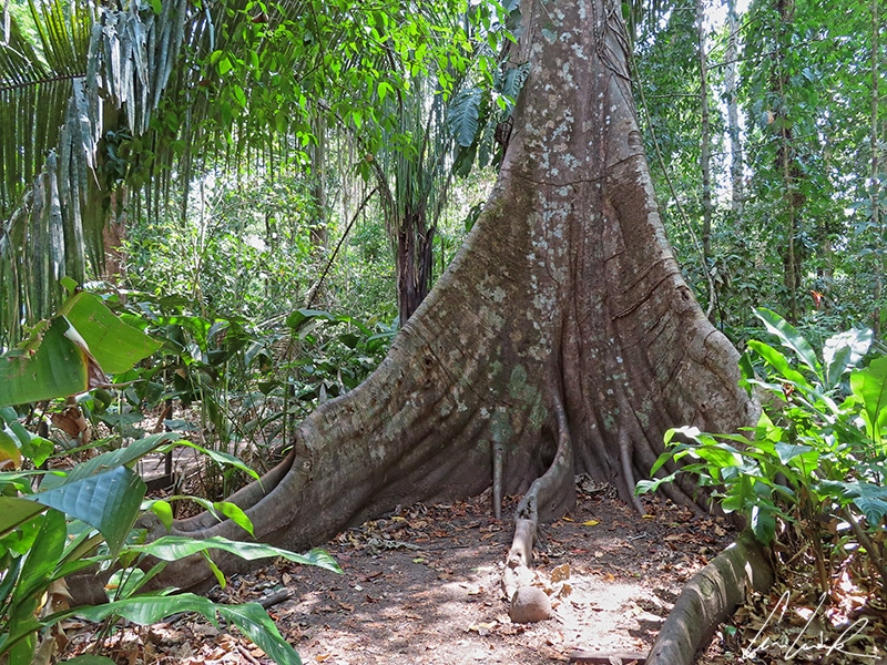 Le tronc des grands arbres de la forêt tropicale est cylindrique et s'ornemente à sa base de grandes lames aplaties, de plusieurs mètres de haut.