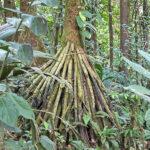 Au Costa Rica, le tronc des arbres de la forêt tropicale est parfois garni de racines qui plongent vers le sol !
