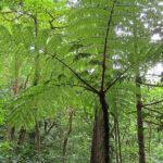 De grandes fougères arborescentes perdurent dans les forêts tropicales. Elles ont de larges frondes, d'une teinte vert pâle.